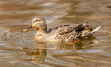 Duck Swims In The Water In The Park