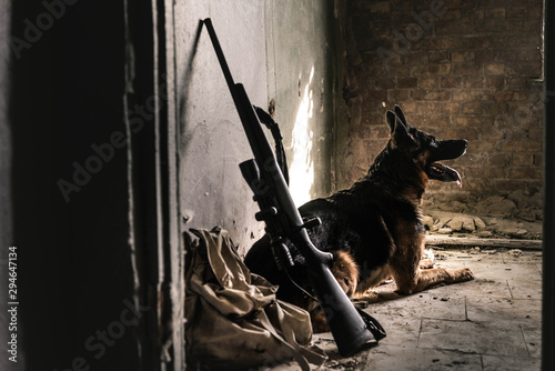 obraz PCV selective focus of german shepherd dog sitting on floor near gun in abandoned building, post apocalyptic concept