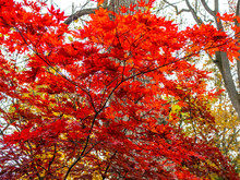 Small Red Maple In The Woods I...