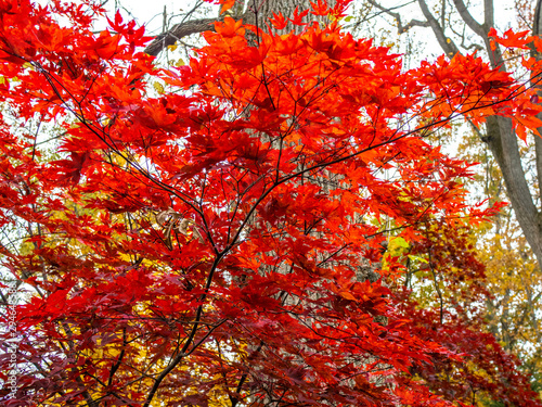 small red maple in the woods in the fall