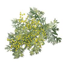 Wormwood. Artemisia Absinthium. Wormwood Branch, Wormwood Flowers And Leaves.