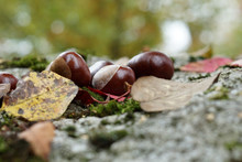 Chestnut With Colorful Leaves Autumn Colored Photographed In The Great Outdoors