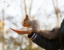 A Gray Fur Squirrel Eats Nuts ...