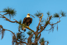 American Bald Eagle With Nesting Materials In His Mouth