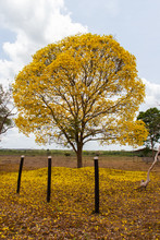 Golden Trumpet Tree (Handroanthus Albus), Known In Brazil As Ipê-Amarelo, During Flowering Season Withs A Mount Of Flowers On Ground.