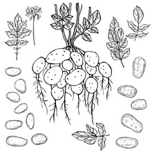 Hand Drawn Potato Plant.Vector...