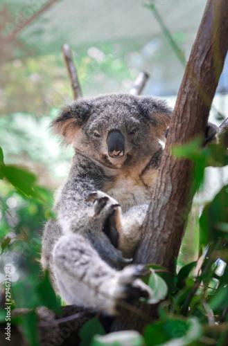 Beautiful close-up of a cute koala bear sitting on an eucalyptus tree. Wild life animal in nature. Queensland, Australia.