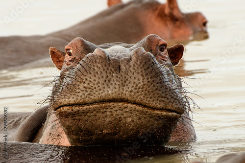 Crooked smile on the face of a hippo Canvas Print
