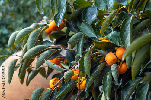 Persimmon fruits on a tree in the garden. Harvest. - 294676737