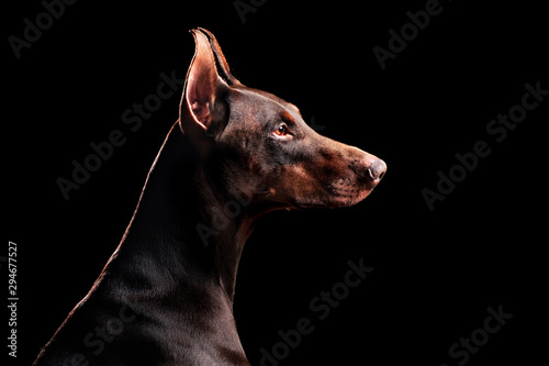 Obraz na plátne Side view low key head portrait of doberman dog