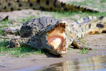 Nile Crocodile Gaping  With Its Mouth Wide Open