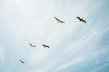 Pelicans Overhead