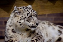 SNOW LEOPARD Or PANTHERA UNCIA Isolated Single Animal Profile And Portrait. Spots Visible. Face And Body Shots. Sleeping Large Cat
