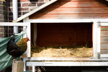 Chicken Stands In Front Of Wooden Chicken House