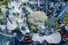 Ripe Broccoli On The Bed Close...