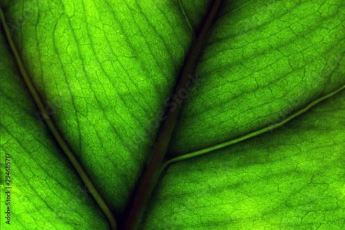 Fotografija  Foglia verde, green leaf