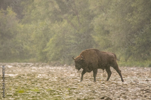 European bison (Bison bonasus) in the river. Bieszczady Mountains. Poland