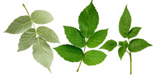 Set Of Green Leaves And Raspberry Branches Isolated On A White Background