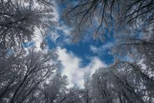 Frozen Trees In Winter Under B...