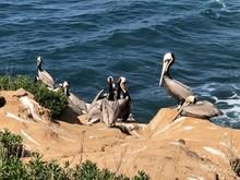 Pelicans On Cliff Overlooking ...