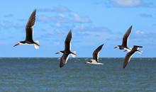 Five Black Skimmers Flying In ...