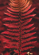 Close Up Of A Fern, Infrared P...