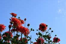 Red Dahlia Flowers, Grouped, I...