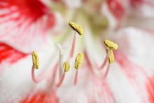 Amaryllis Reproductive Organs