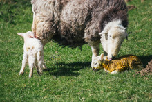 Herdwick Sheep Having Just Given Birth, Cleans Her Newborn Lamb.