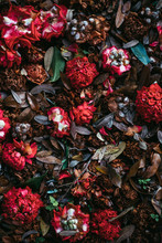 Decaying Camellia Flowers