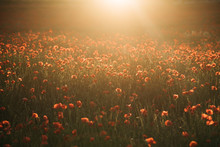 Poppy Flowers On Field In Suns...