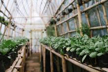 Green Vegetables Growing In Farm