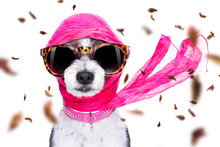 Chic Diva Dog In Autumn Or Fall Windy
