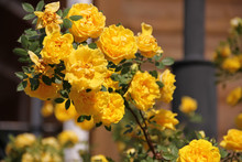 Climbing Yellow Roses Against A Log Wall On Blurred Background, Persian Yellow, Foetida Persiana