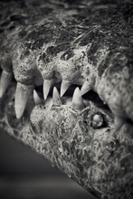 Crocodile Mouth Close Up In Black And White Showing Tooth Details