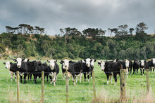 Black And White Cows In A Paddock Behind A Fence