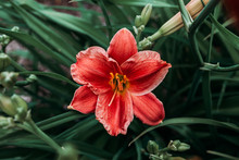 Pink And Red Lily