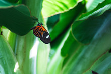 Butterfly With Orange And Black Stripped Wings Hanging Upside Down From A Green Leaf