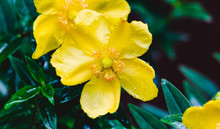 Closeup Of Yellow Flower Drenc...