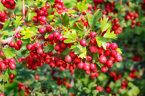 Photo hawthorn berries in the autumn garden