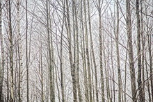 An Abstract Of Thin, Bare Tree...