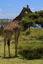 Single Giraffe Eating From A Tree, Wide Angle Photo Take From So Close