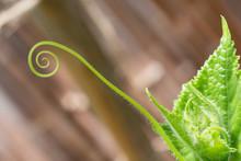 Cucumber Vine Tendril Unfurling