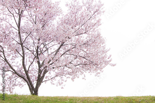 Fotografía  土手に咲く桜