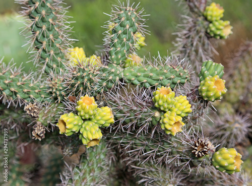 Yellow green sprouts of Cholla cactus