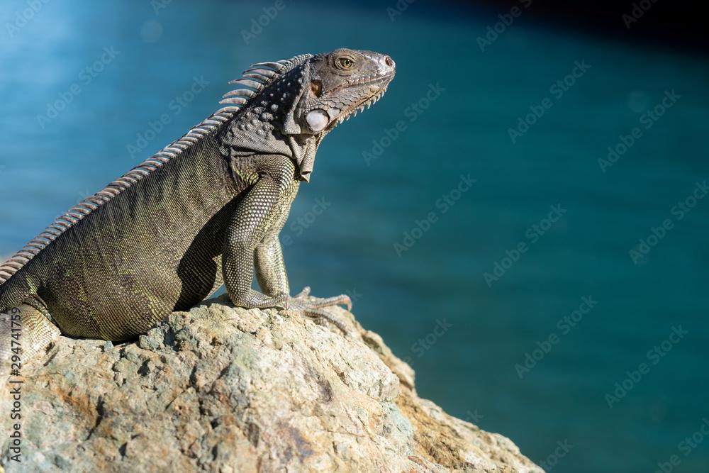 Obraz Iguana basking on a rock in St Thomas fototapeta, plakat