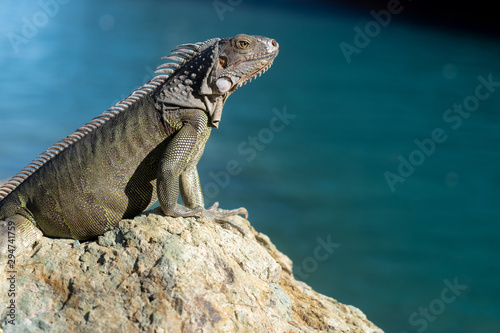 Fototapeta Iguana basking on a rock in St Thomas obraz