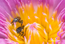 Beautiful Waterlily Or Lotus Flower With Bee.