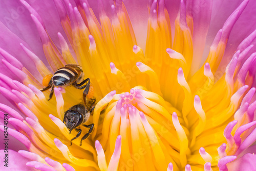Foto auf Gartenposter Lotosblume Beautiful waterlily or lotus flower with bee.