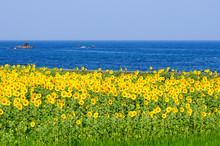 日本海とひまわり